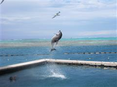 Dolphin fun and front row seats from our deck at the Intercontinental in Moorea